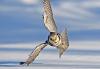 Los búhos pueden ayudar a hacer los aviones más silenciosos en el vuelo